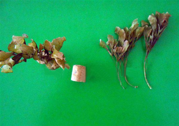 Кленовые семена и пробка