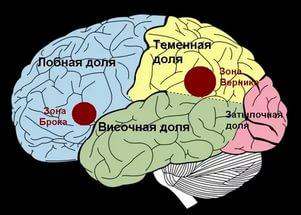 Кора головного мозга (схема)