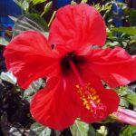 Китайский розан