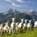Стадо коз в горах