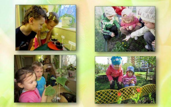 Дети наблюдают за растениями на прогулке и в экологическом уголке группы