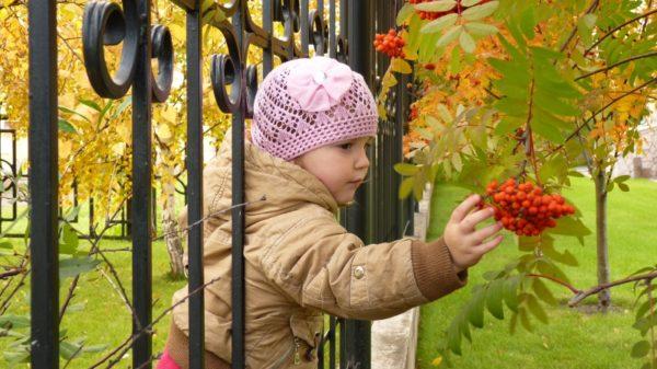 Девочка расматривает ягоды рябины