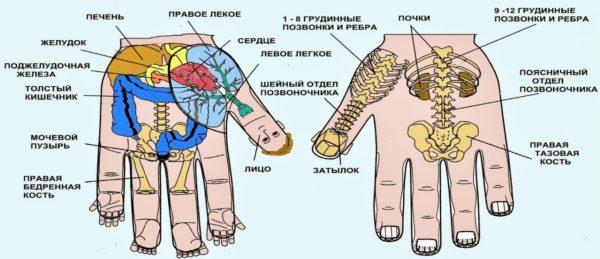 Схема рецепторов на кистях рук и проекция внутренних органов