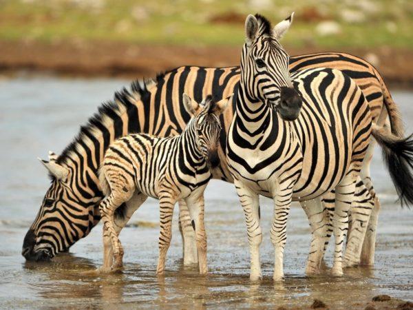 Три зебры (две большие и маленькая) на водопое