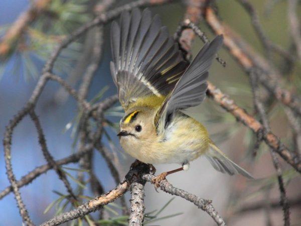 птица королек