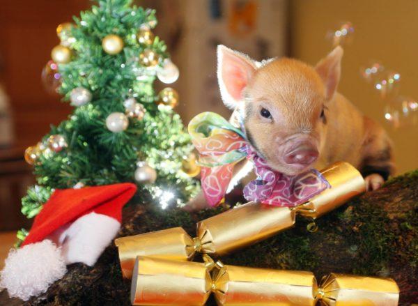 Поросёнок рядом с новогодней ёлочкой