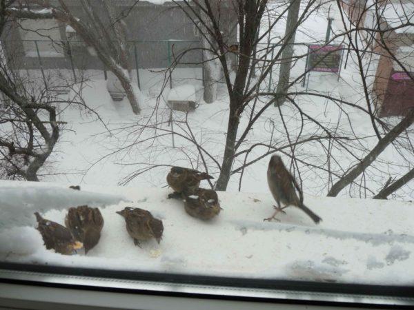Воробушки у окна
