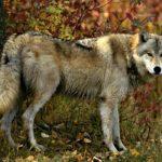 Фотография: волк