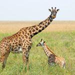 Фотография: жираф