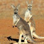 Фотография: кенгуру