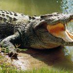 Фотография: крокодил