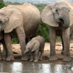 Фотография: слоны