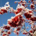 Фотография: гроздья рябины