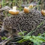Фотография: ёжик с грибами на иголках