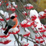 Фотография: снегирь на ветке рябины