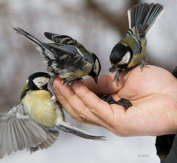 Синички едят семечки с руки человека