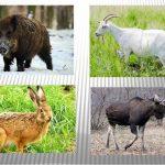 Кабан, заяц, лось, коза
