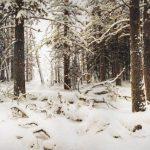Картина И. Шишкина Зима