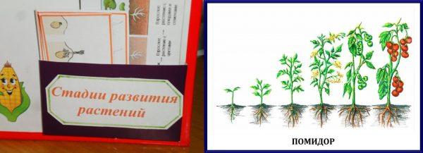 Стадии развития растений