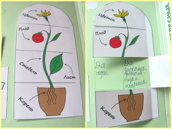 Разрезной рисунок, изображающий строение растения