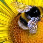 Пчела на жёлтом цветке