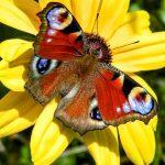 Бабочка на жёлтом цветке