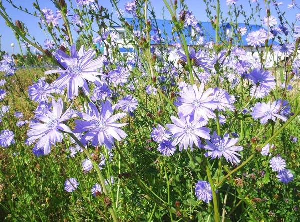 Цикорий цветы