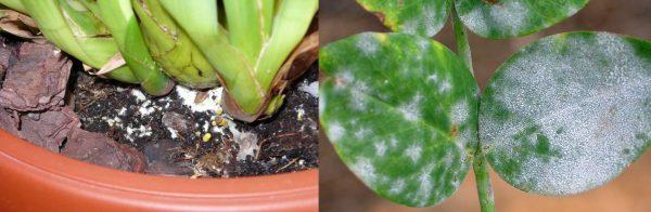 Плесень в почве и на листьях комнатного растения